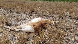 Belgrade area pronghorn antelope found shot prompts poaching investigation