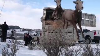 This Week in Fish and Wildlife: Bighorn sheep relocated to Tendoy Mountains