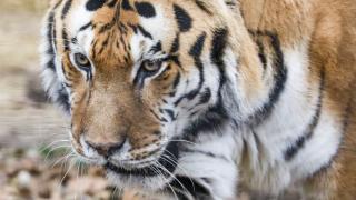 Sivaki the Amur tiger passes way