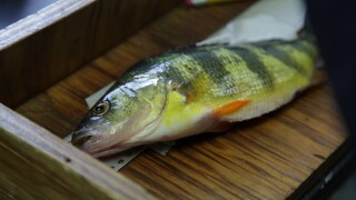 Yellow perch collected by US Fish & Wildlife Service for toxics