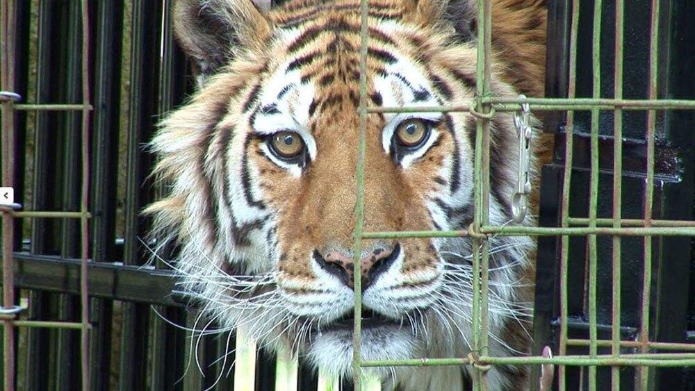 Kimba-Tiger-BIG-CAT-RESCUE.jpg