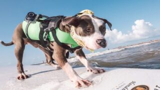 These Dogs Went Surfing And Totally Nailed It