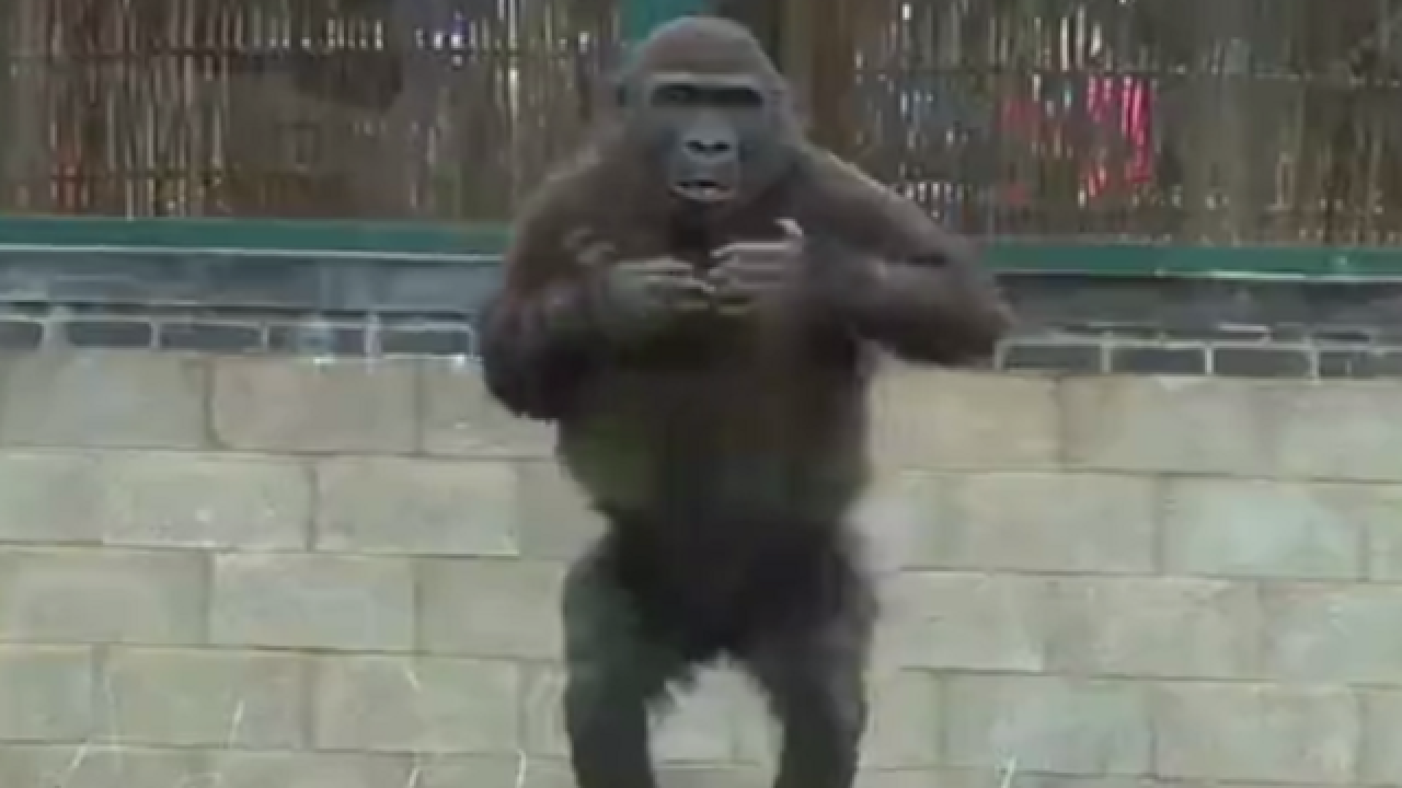Gorilla youngster has quite the attitude