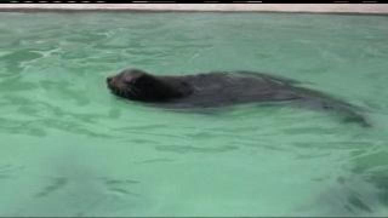 Blind sea lion finds new home at Hogle Zoo