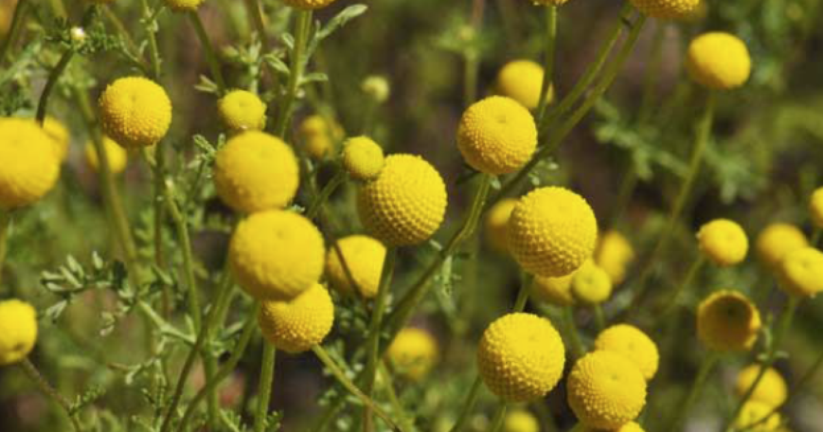 Pima County works to fight against invasive Stinknet plant