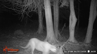 Cougar sighting June 1 2020.jpg
