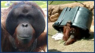 Daniel Orangutan at Phoenix Zoo.jpg