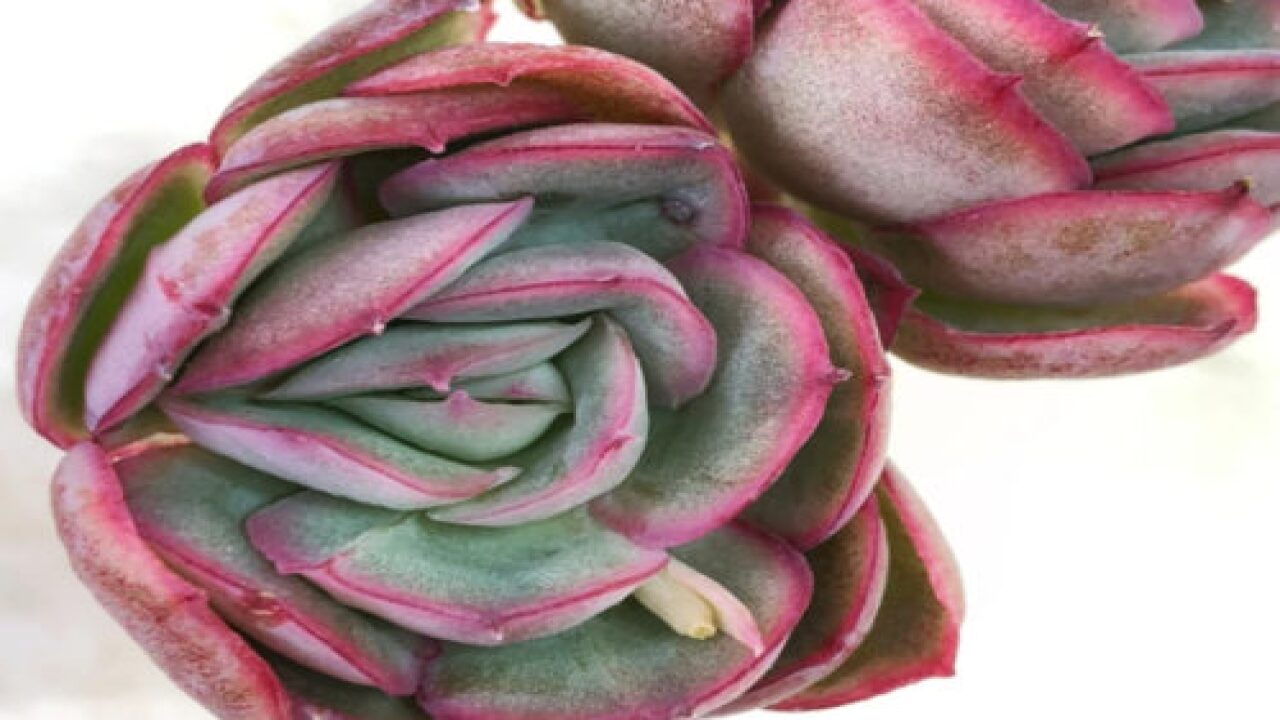'Strawberry Ice' Succulents Are A Beautiful Addition To Your Indoor Garden