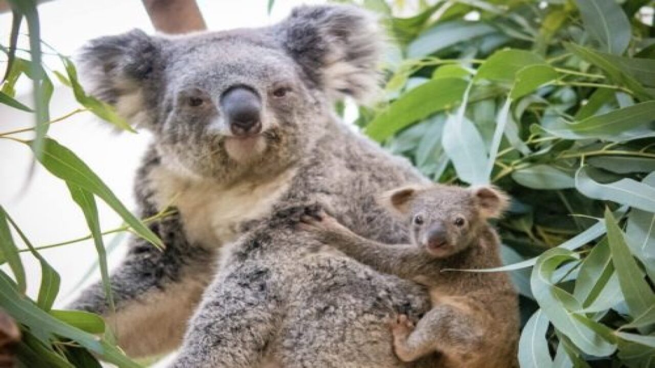 Cleveland Zoo Welcomes First Koala Joey In 10 Years