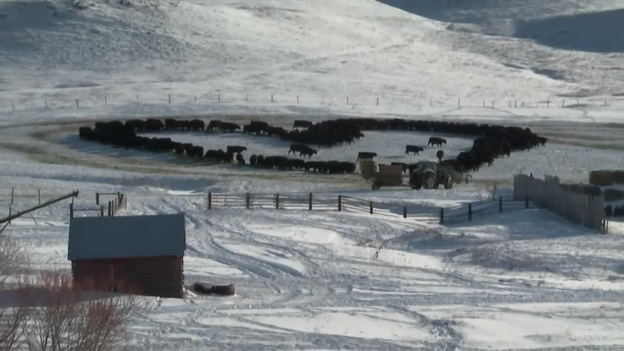 "Montana rancher creates ""udderly"" lovely Valentine's Day surprise"