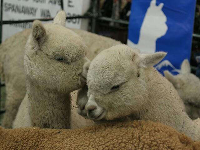 Hundreds of alpacas come to Denver for the 2017 National Alpaca Show