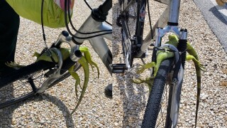 Iguana caught in bicycle tire in Marathon, Florida Keys
