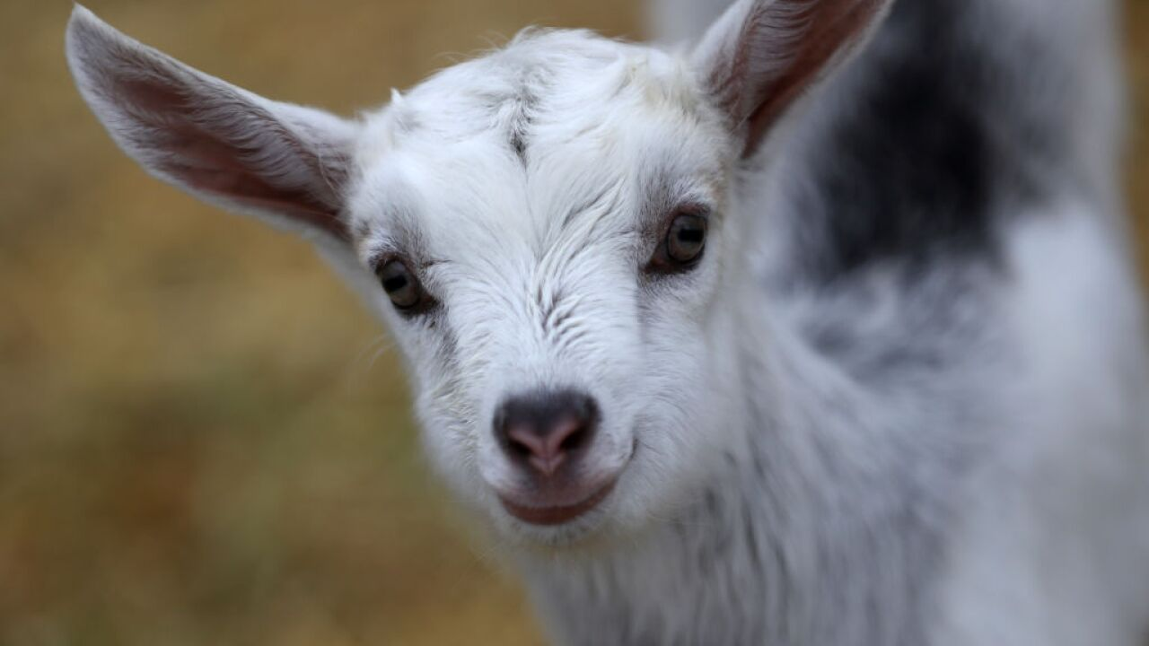 Goats can distinguish emotions in each other's bleats, study finds