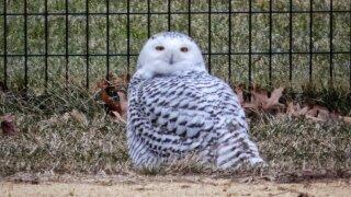 snowy owl.jpeg