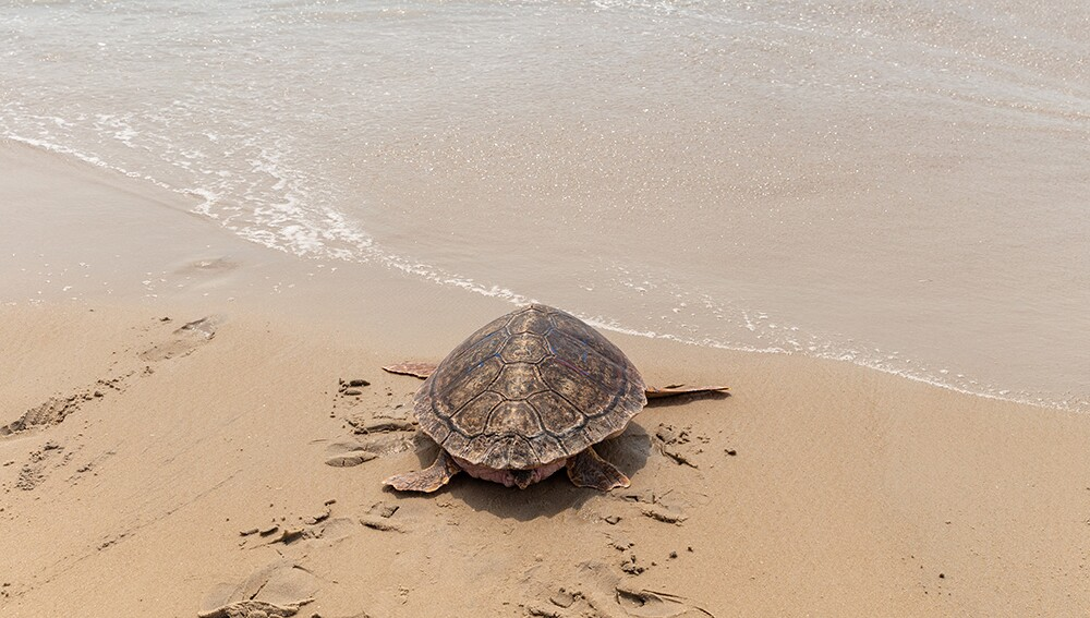 Sea Turtle Release | Assateague Island State Park  | June 20, 2019
