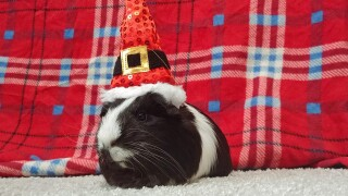 Lilac the Guinea Pig from Allison Schwartz.jpg