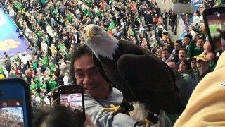 Bald eagle lands on football fan.jpg