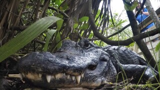Study: Alligators can regrow their tails