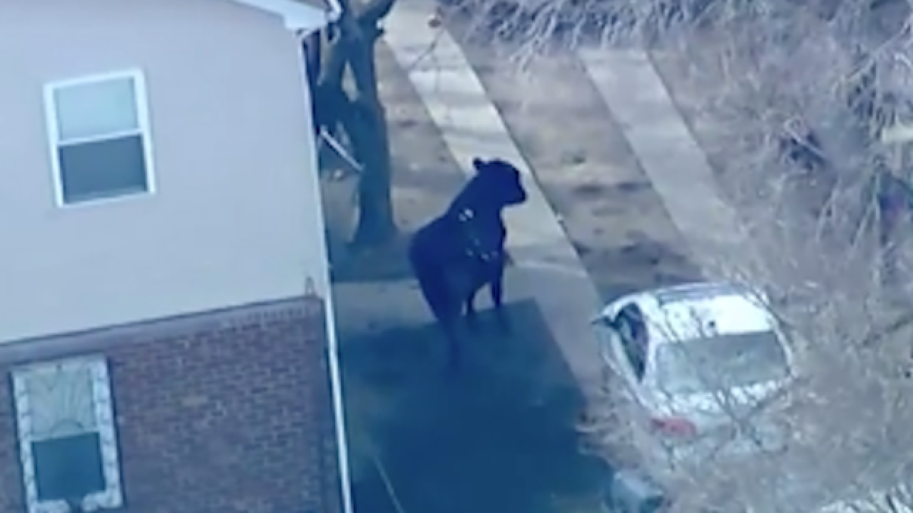 Bull dies after running loose through New York streets