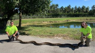 A massive 98-pound Burmese python was captured in Florida