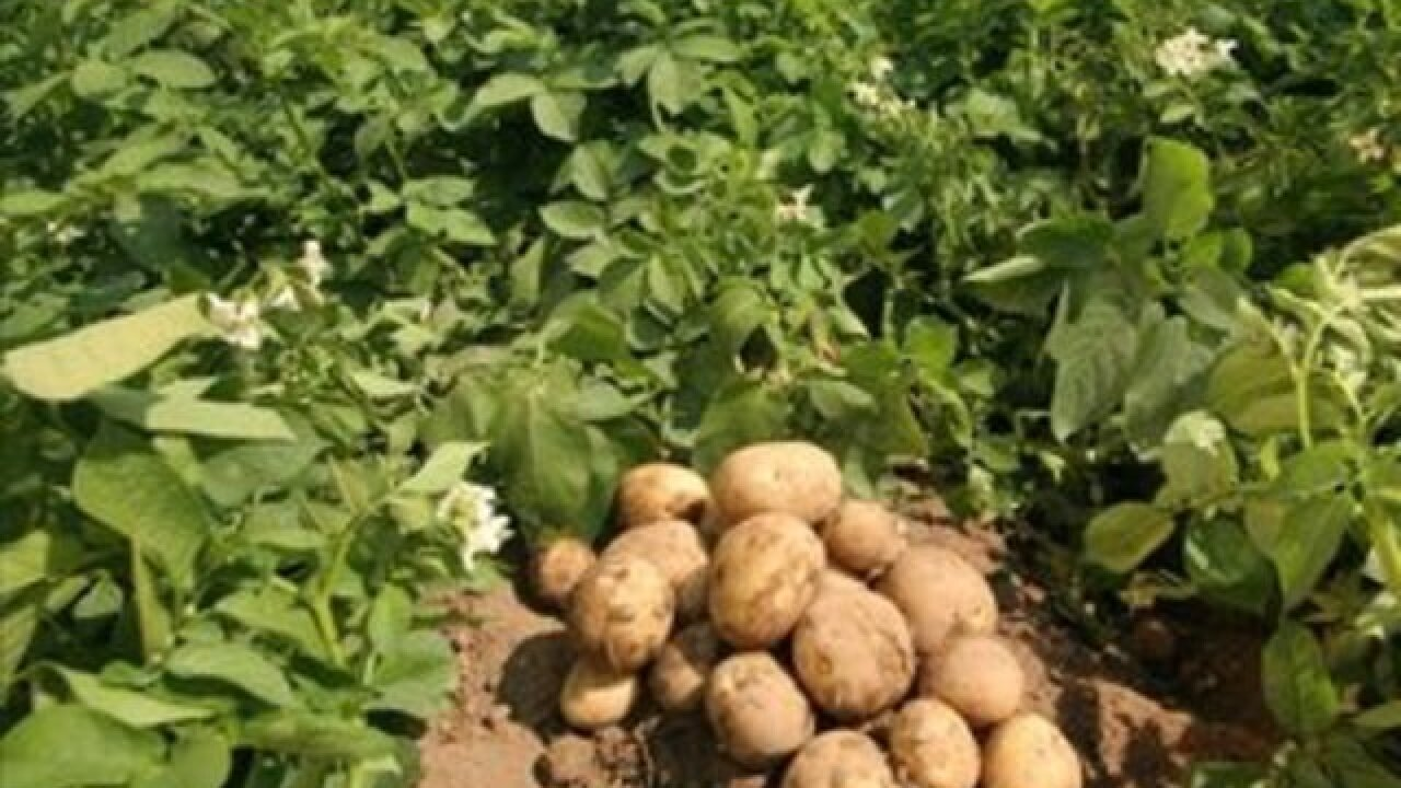 US potato exports taking a hit due to trade wars, marketing group says