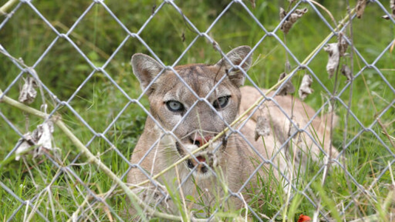 Texas man found dead in wooded area after possible mountain lion attack