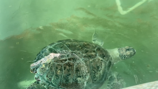 Autumn the green sea turtle.PNG
