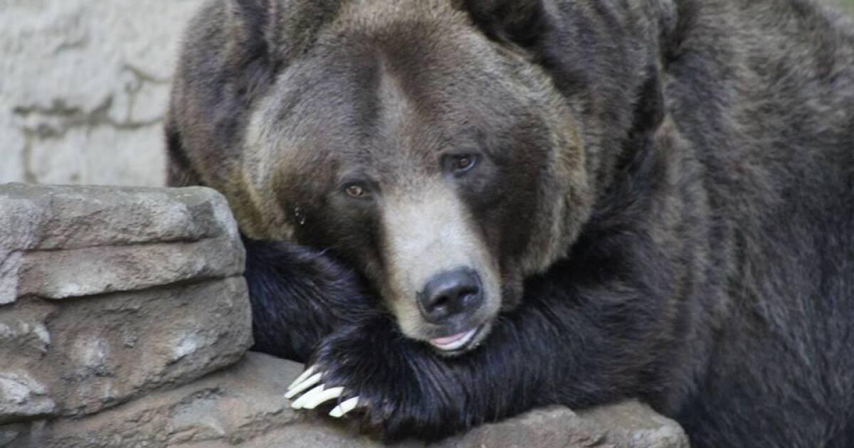 Denver Zoo reveals new grizzly bear habitat