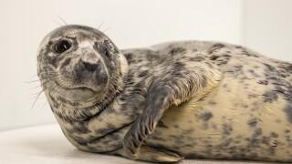 Eloise | Grey Seal  | February 16, 2021