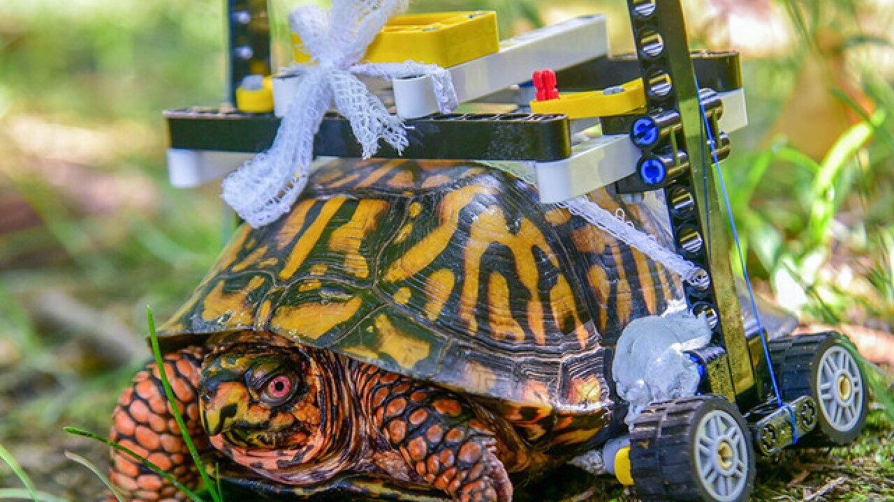 Turtle at Maryland Zoo rolls to recovery in new LEGO wheelchair