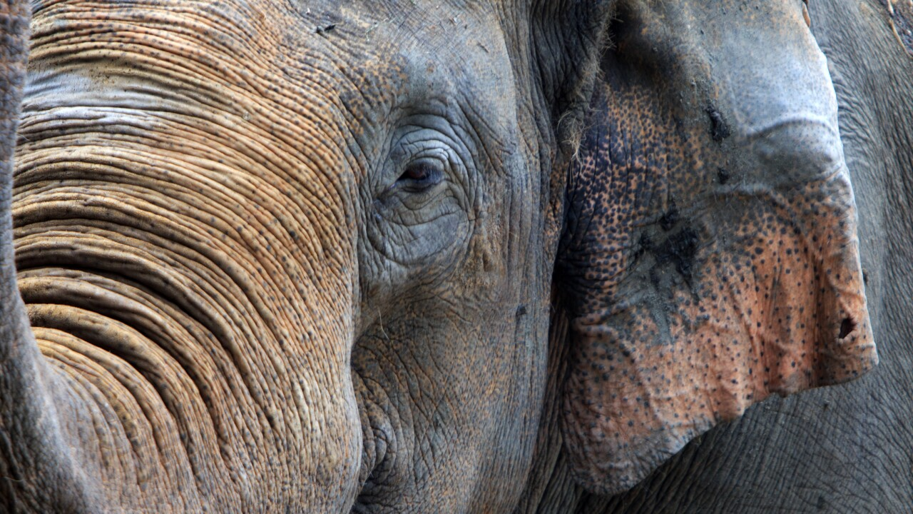 Two female elephants die of herpesvirus days apart at the Indianapolis Zoo