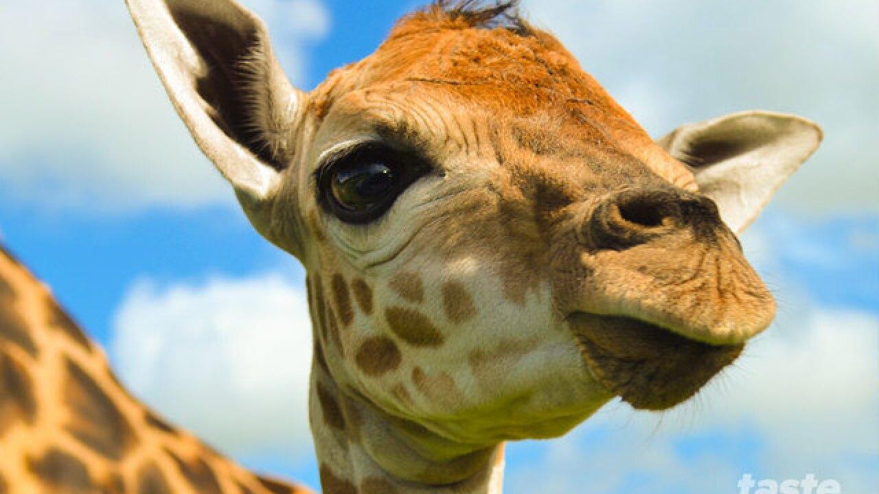 Help name the new baby giraffe born at Lion Country Safari