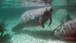 Manatees swim at Blue Springs State Park, Orange City, Florida