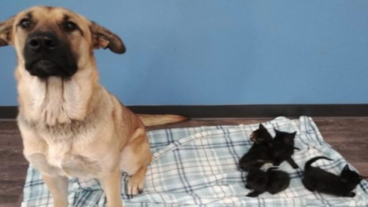 This Stray Dog Was Found Curled Up In The Snow Keeping Orphaned Kittens Warm