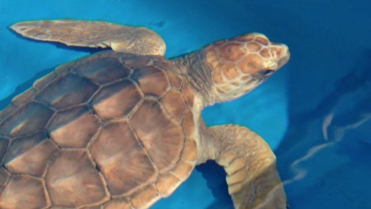 Study: Plastics found in guts of sea turtles