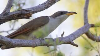 Rare Songbird