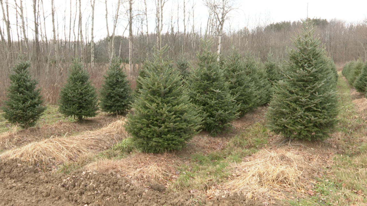Christmas tree sales on the rise