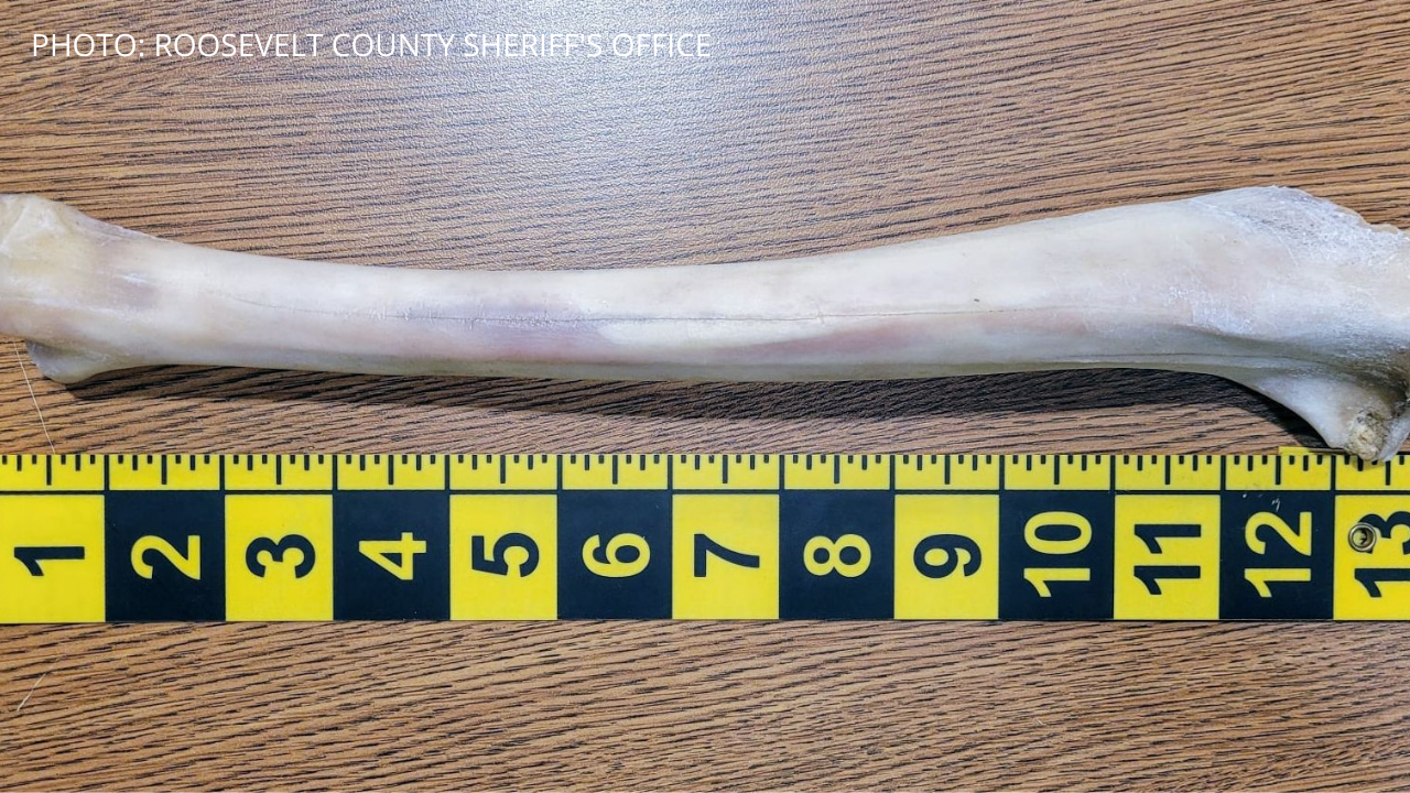 A bone found in NE Montana: elk, not human