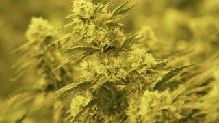 Cost of marijuana license