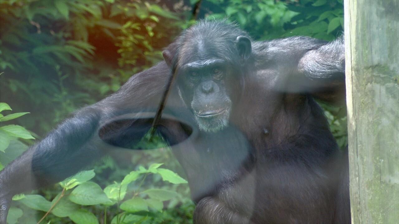 John Ball Zoo Chimp