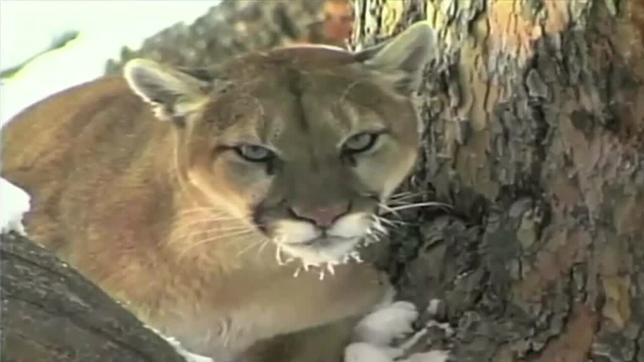 How to stay safe if you encounter a mountain lion