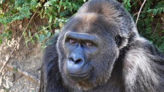 The world's oldest gorilla in captivity has died at the age of 63