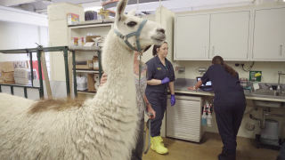Rescued llama that wandered for months in Yellowstone needs help paying for surgery at CSU