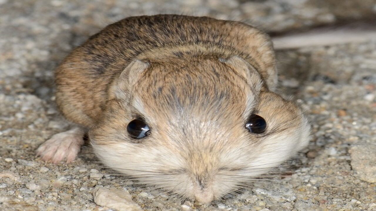 See 7 weird things about kangaroo rats