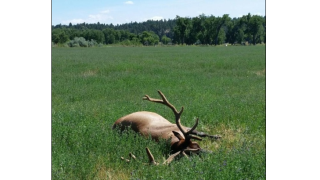 Three elk shot and left for dead in Musselshell County