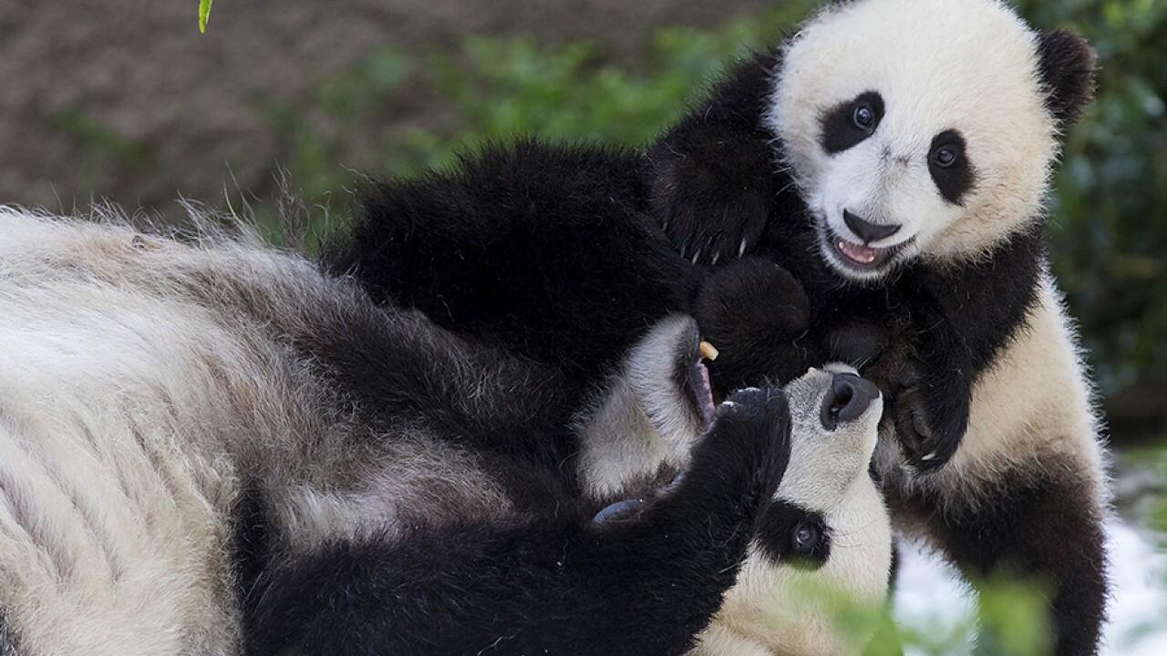 bai_yun_xiao_liwu_sd_zoo.jpg
