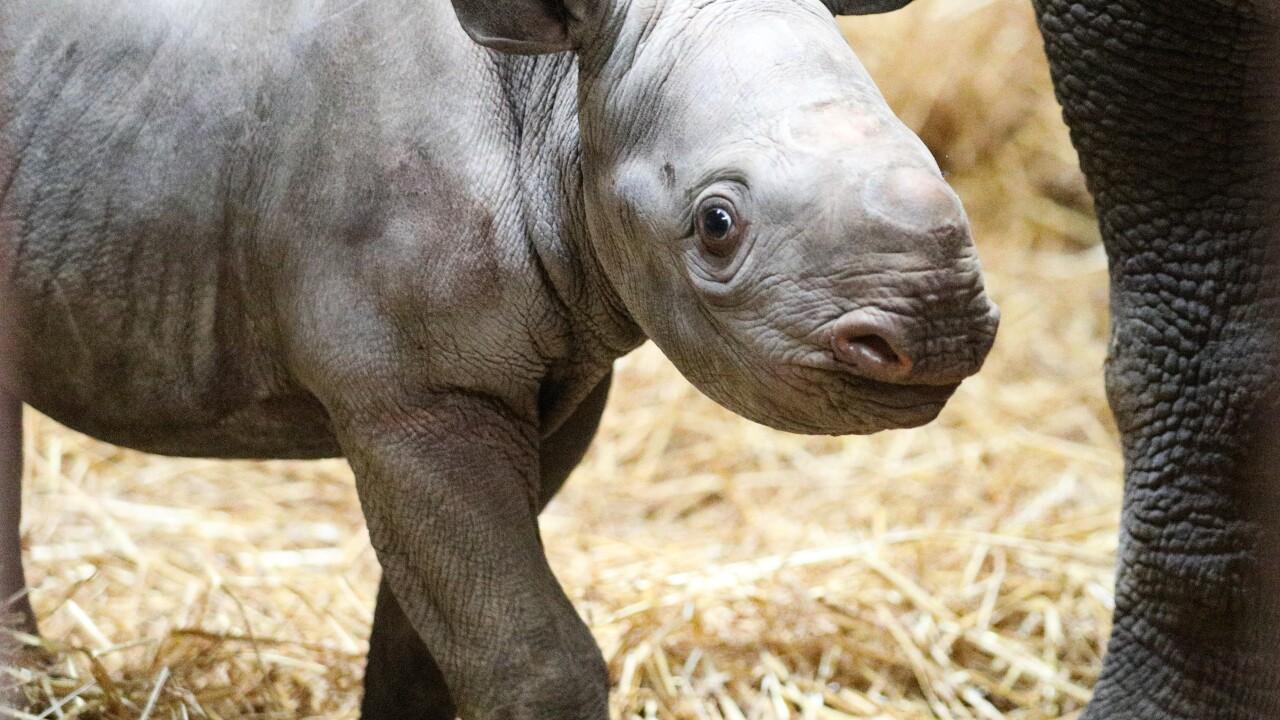 potter park zoo black rhino calf.JPG