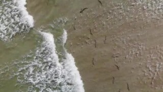 A surfer used a drone to capture aerials of sharks in shallow water at New Smyrna Beach.