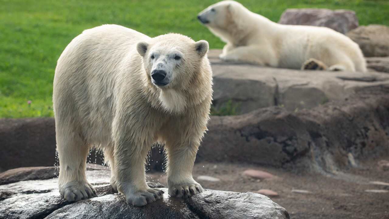 Polar Bears return to Druid Hill Park; new cubs arrive at Maryland Zoo