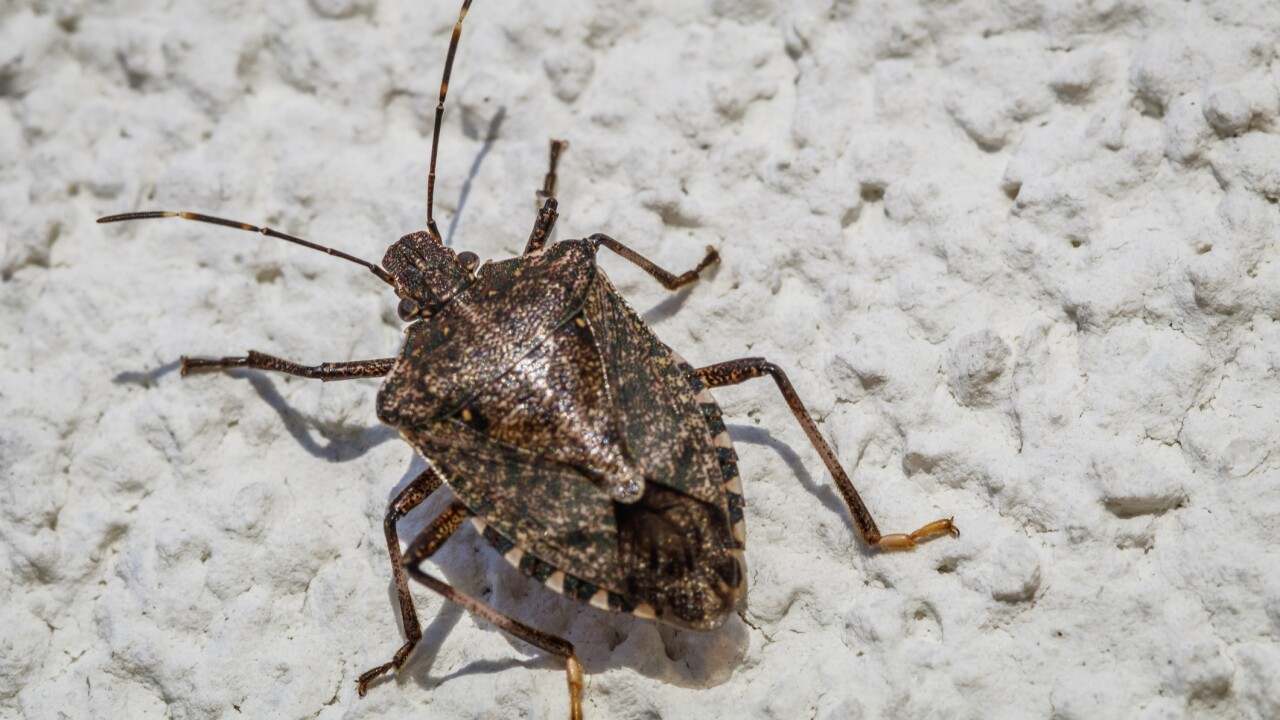 Polar vortex may have killed 95% of stink bugs, Virginia Tech researchers say